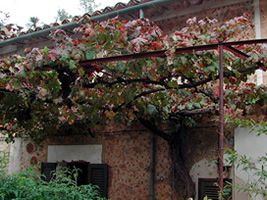 Grapevine bower in the front of a house at Dei�
